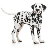 photo of a dalmatian dog
