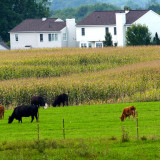 photo of farmland with cows and housing development in the background
